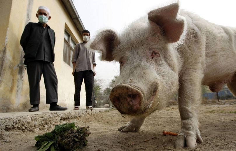 Gripa porcină. Războiul modern (3)
